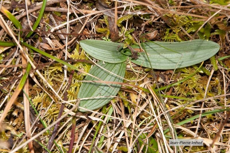 Rosette morio, ophrys elatior, ophrys apifera Ddf_9512