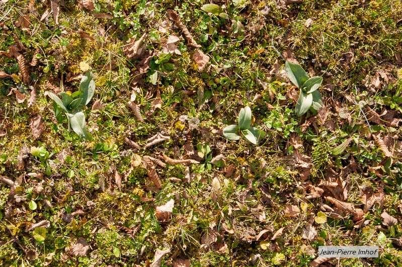 Rosette morio, ophrys elatior, ophrys apifera Ddf_9611