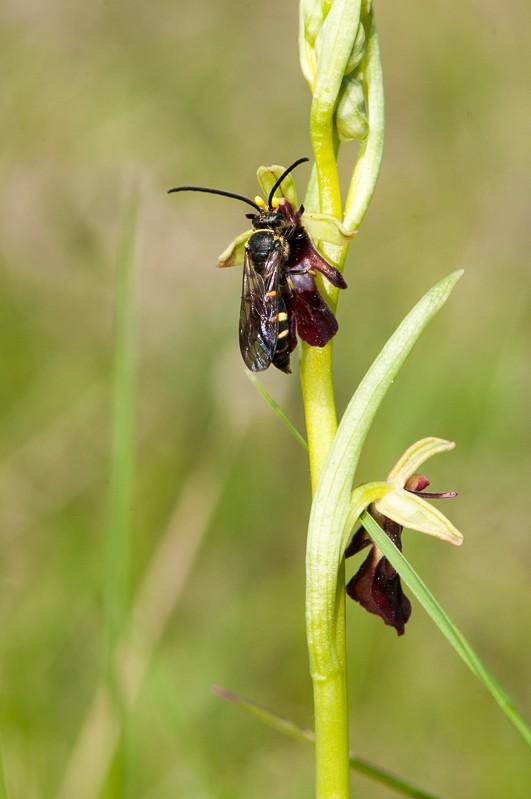 Argogorytes mystaceus avec O.insectifera Ddg_3913
