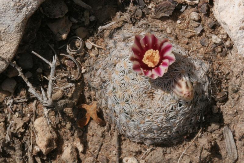 Mammillaria hermosana Img_7610