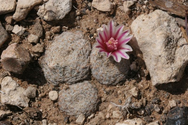Mammillaria hermosana Img_7611