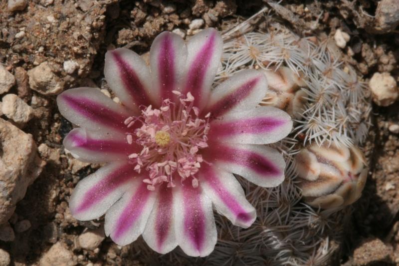 Mammillaria hermosana Img_7612