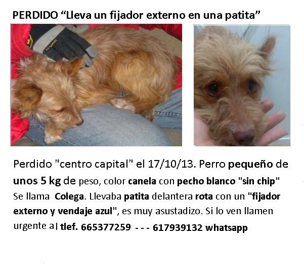 Perrito con fijador externo en patita delantera perdido en Valencia Nuevo_10