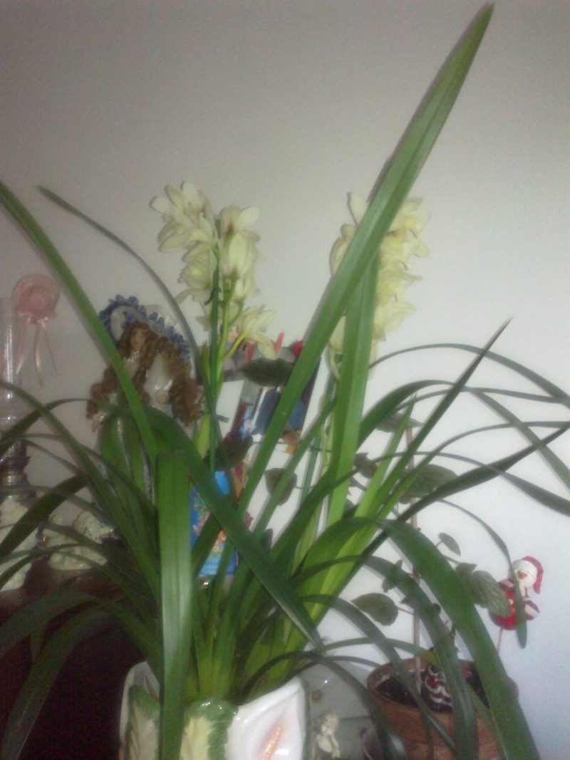 cymbidium qui ne fleuri plus  017_410