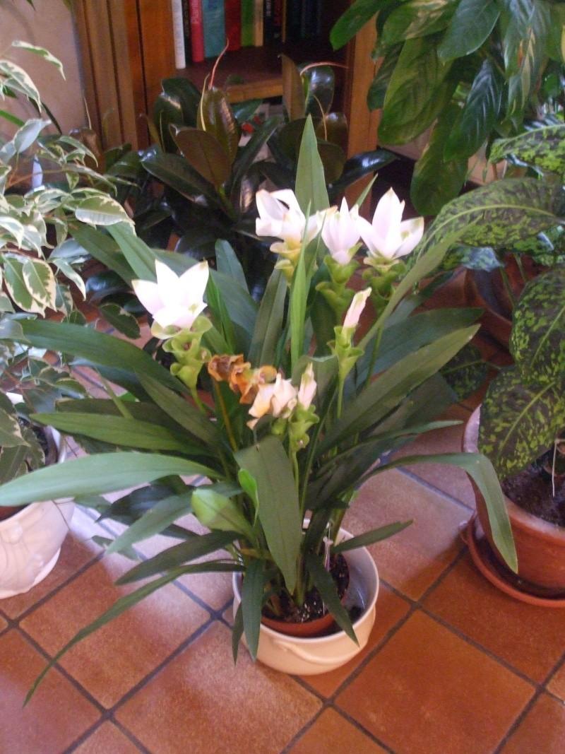 quelle est cette plante svp (Curcuma) Plante11