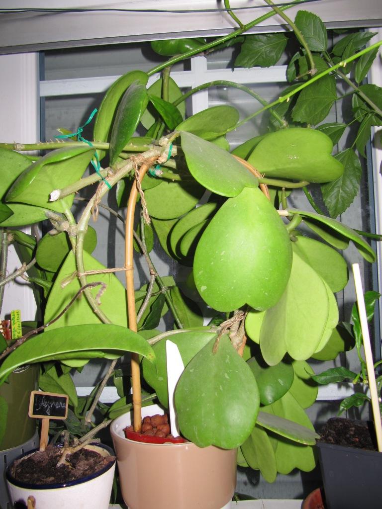 Quelle variété de hoya a les feuilles en forme de coeur ? 00221