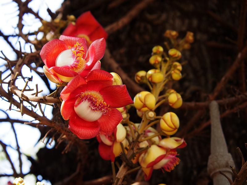 identification Couroupita Guianensis ( arbre aux boulets de canon ) J5000710