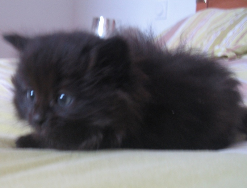 Jingle,chaton angora mâle né le 20 mars  10_mai10