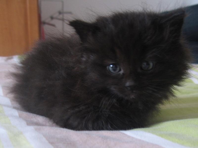 Jingle,chaton angora mâle né le 20 mars  10_mai12