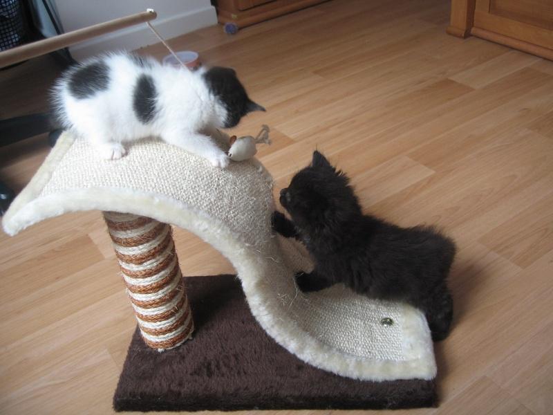 Jingle,chaton angora mâle né le 20 mars  12_mai10