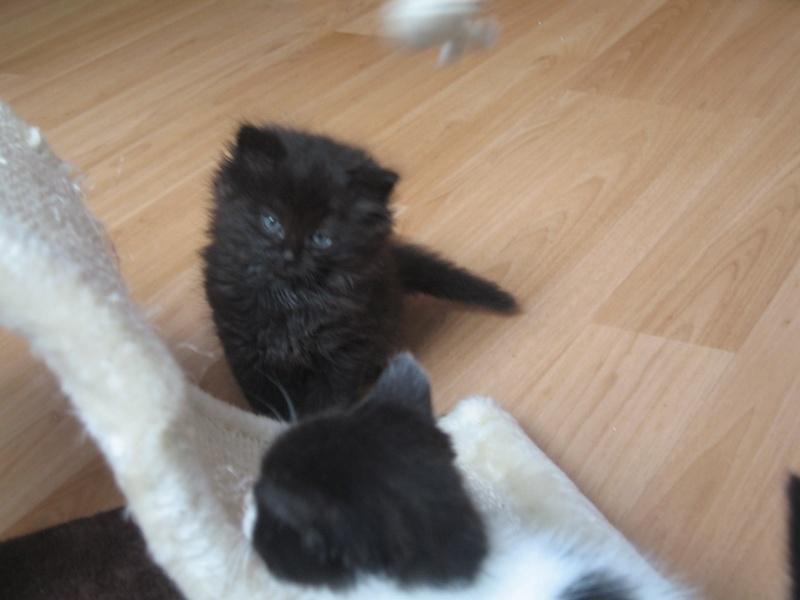 Jingle,chaton angora mâle né le 20 mars  12_mai11
