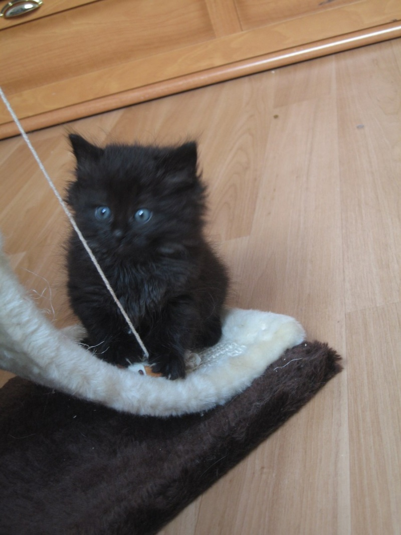 Jingle,chaton angora mâle né le 20 mars  12_mai13