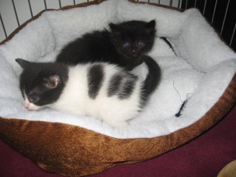 Jingle,chaton angora mâle né le 20 mars  Jingle23