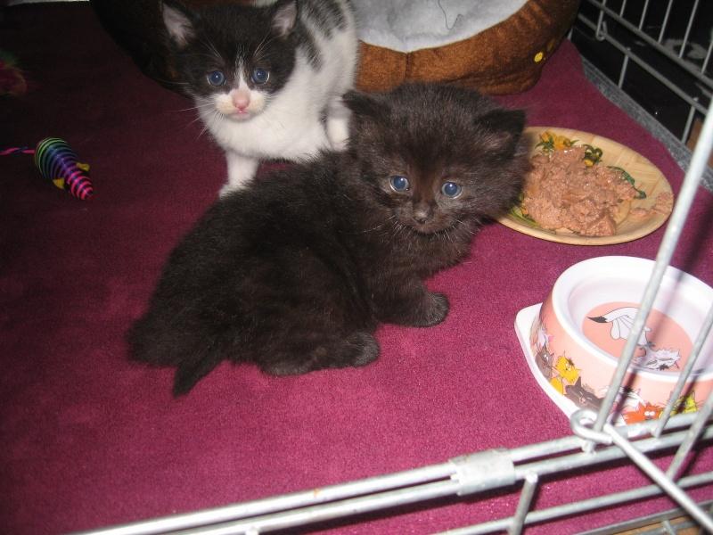 Jingle,chaton angora mâle né le 20 mars  Jingle24