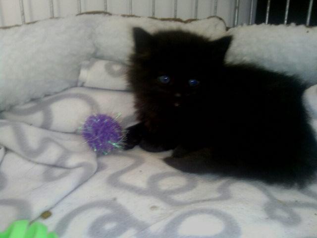 Jingle,chaton angora mâle né le 20 mars  Jingle29