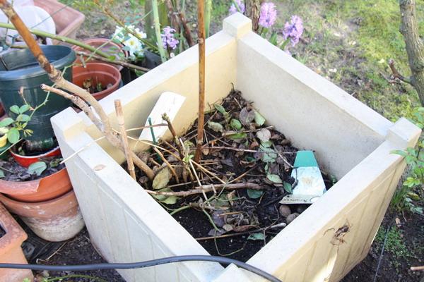 azalées et pivoines arbustives  Img_0711