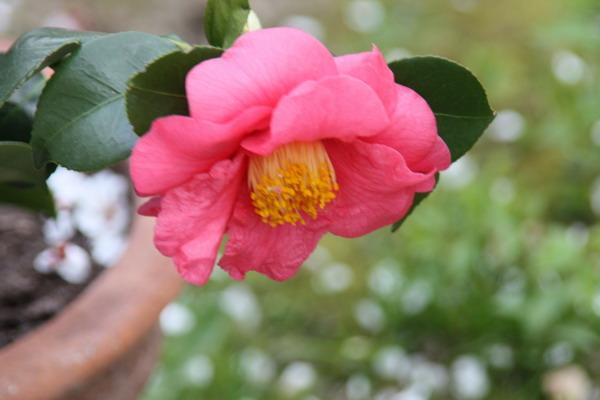 Camellia au fil des saisons Img_0821