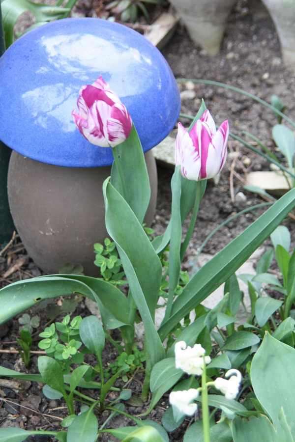 Tulipa - grands hybrides - tulipes chics et kitch (sections 1 à 11) - Page 6 Img_0912
