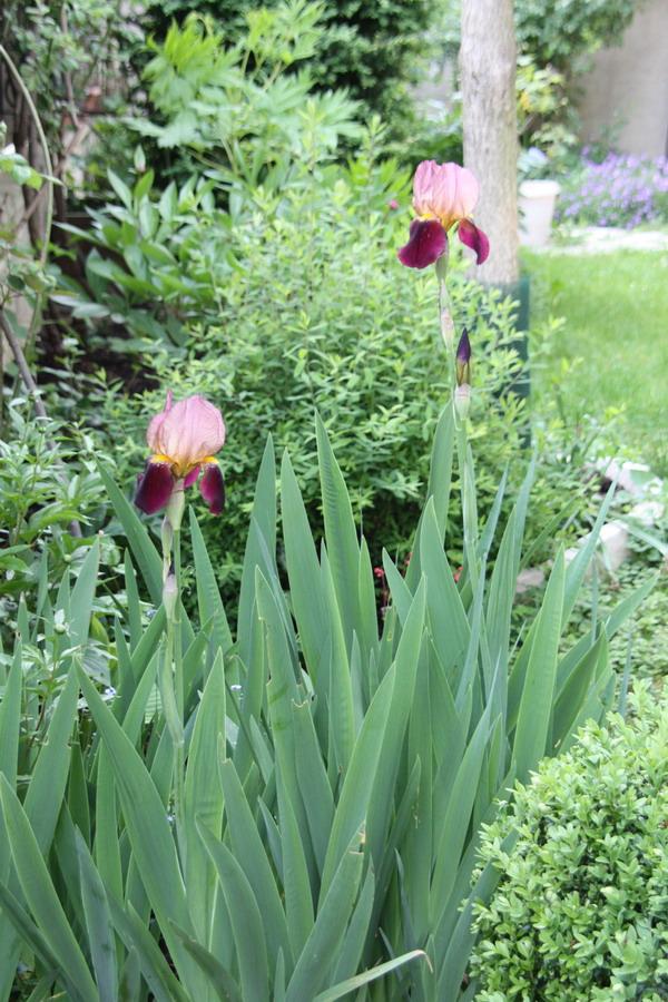Iris : floraison 2014 - Page 3 Img_8010