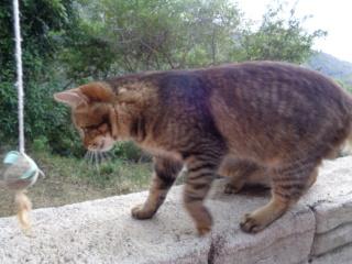 NELSON junior de 7 mois 3 kg (au 01/07/2020) frère de NELSIE Dsc00827