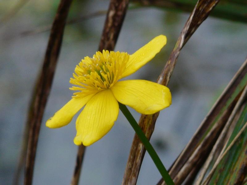 Caltha palustris - caltha des marais, populage  P1060327