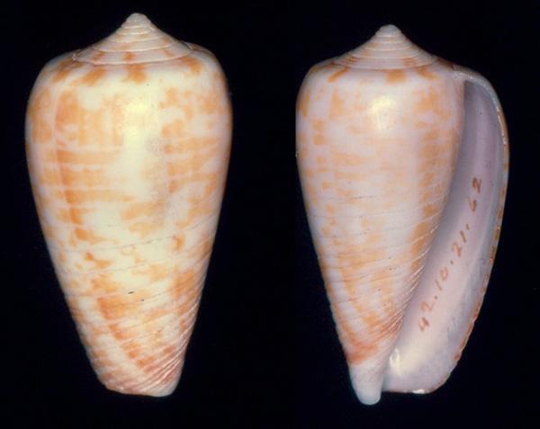 Conus (Phasmoconus) zandbergeni   Filmer & Moolenbeek, 2010 Broder10