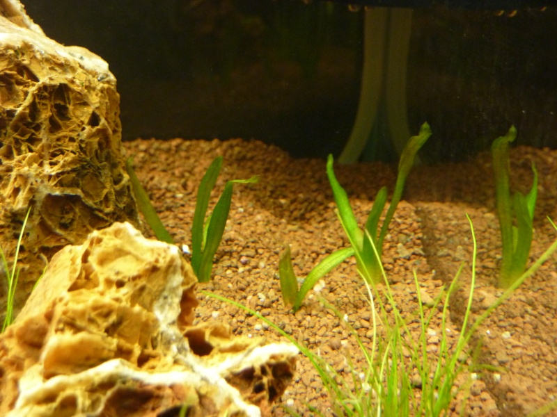 """20 litres """"type"""" aquascaping [FIN] - Page 4 P1160524"""