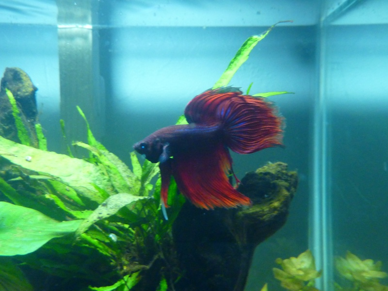 55 litres betta - Page 4 P1170625