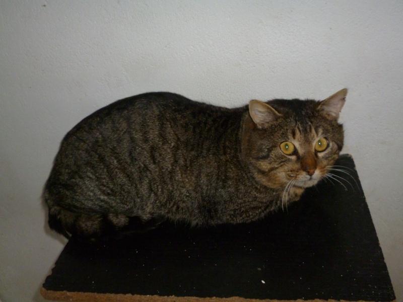 MERLI   chat mâle né 01/04/2011 en fourrière dept 49 P1030110