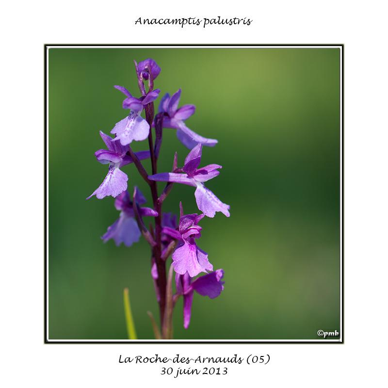 Anacamptis palustris Anacam15