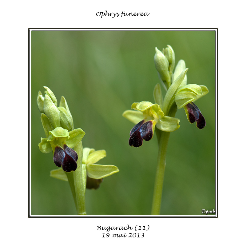 Ophrys funerea (= sulcata) Ophrys59