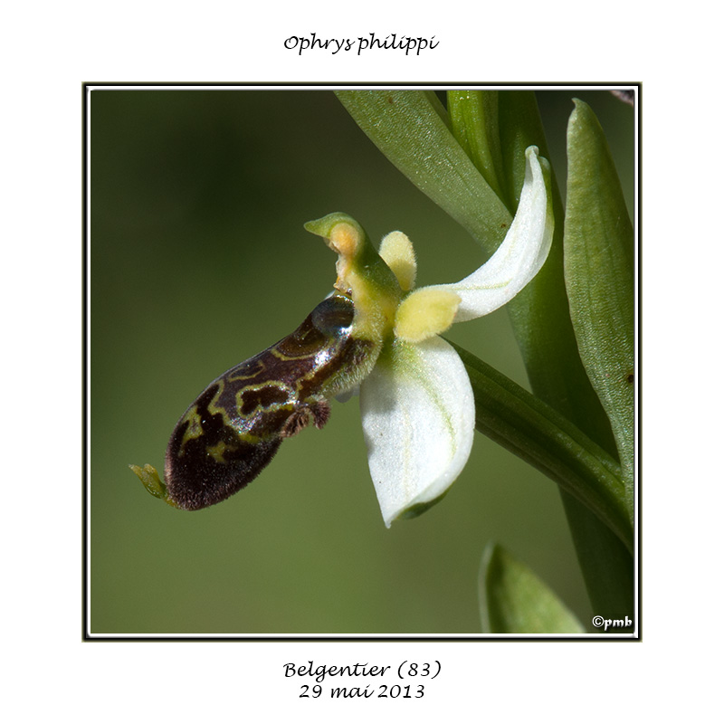 Ophrys philippi Ophrys60