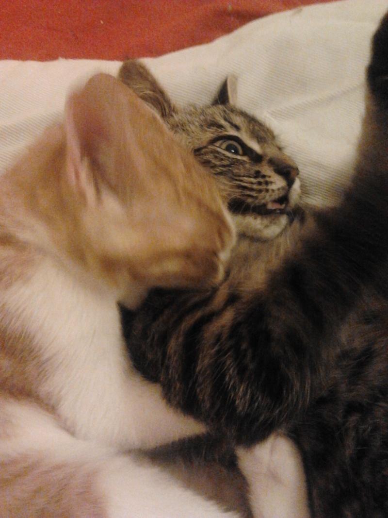 IRMA chaton femelle 10/06/2013 adoptée par jennifer  ( 85 ) 2013-112
