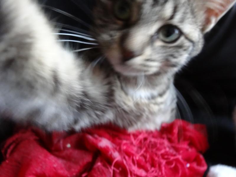 IRMA chaton femelle 10/06/2013 adoptée par jennifer  ( 85 ) Dsc06111