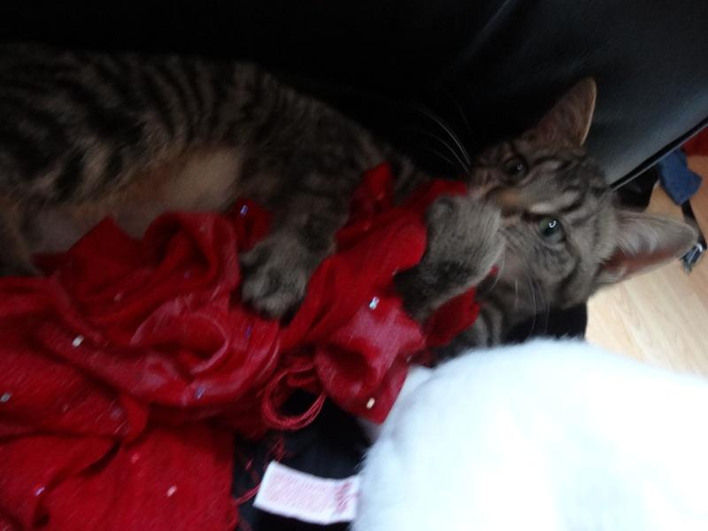 IRMA chaton femelle 10/06/2013 adoptée par jennifer  ( 85 ) Dsc06112