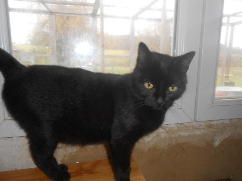 KOVOU  chat  noir né janvier 2013 adopté par JULIE ( 86 ) Dscn3111