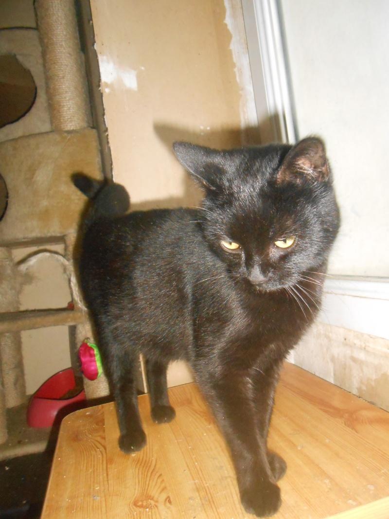 KOVOU  chat  noir né janvier 2013 adopté par JULIE ( 86 ) Dscn3113