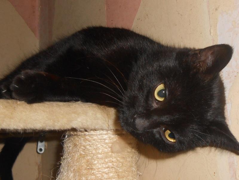 KOVOU  chat  noir né janvier 2013 adopté par JULIE ( 86 ) Dscn3310