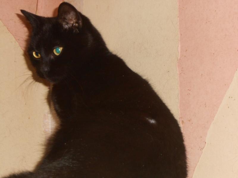 KOVOU  chat  noir né janvier 2013 adopté par JULIE ( 86 ) Dscn3315
