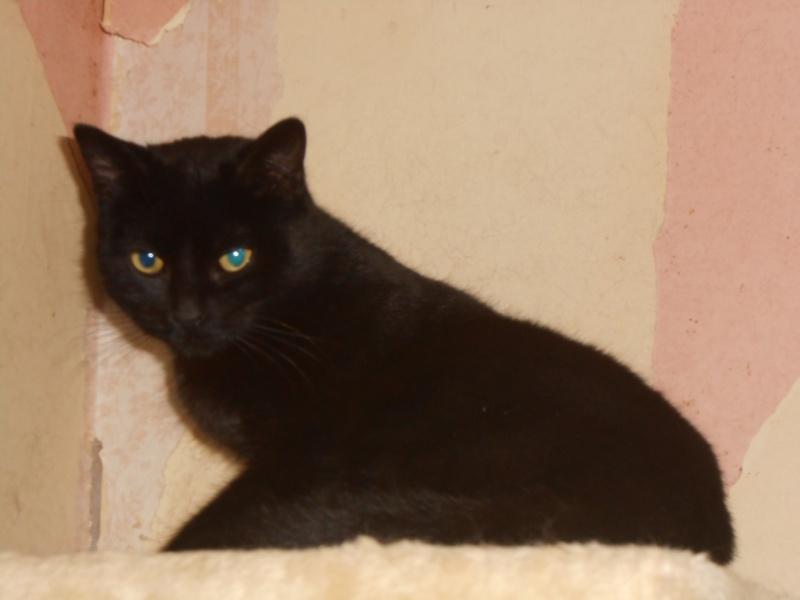 KOVOU  chat  noir né janvier 2013 adopté par JULIE ( 86 ) Dscn3316