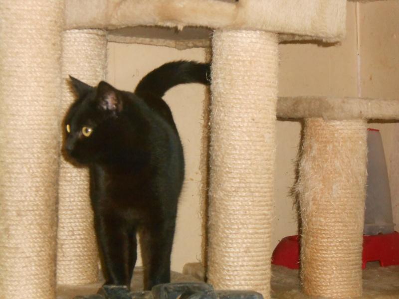 KOVOU  chat  noir né janvier 2013 adopté par JULIE ( 86 ) Dscn3510