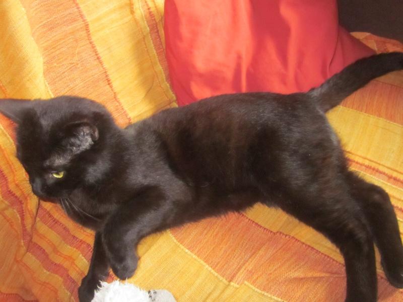 KOVOU  chat  noir né janvier 2013 adopté par JULIE ( 86 ) Img_2014