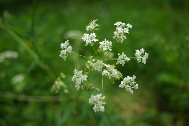 [Atelier plantes sauvages ] Aide à l'identification des plantes Imgp0712