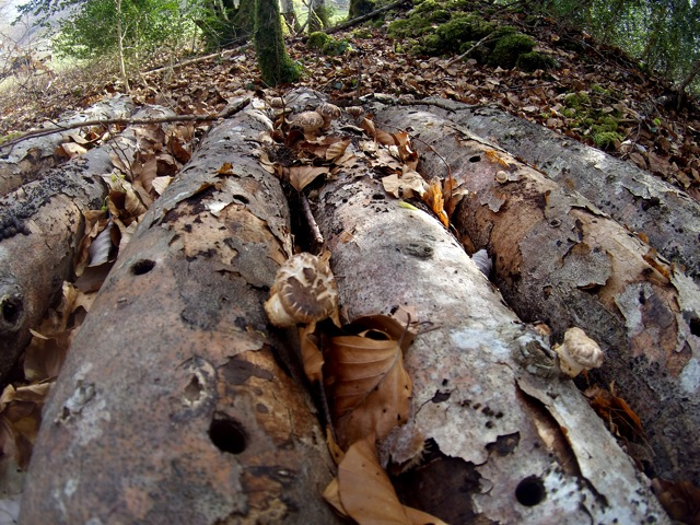 Culture de champignons sur bûches - Page 2 Ph000011