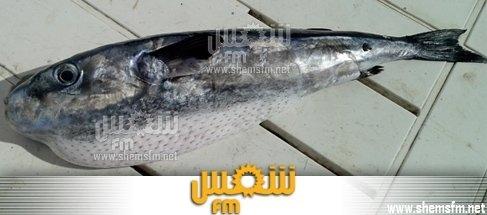 سمكة من نوع الأرنب المسموم في صيادة Media_10