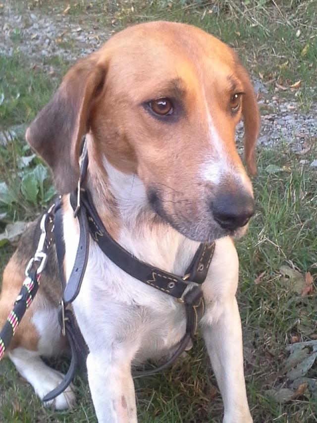 D'CIBELLE femelle X anglo français/beagle née le 01/09/2009  -  BDS 35 Dcibel10