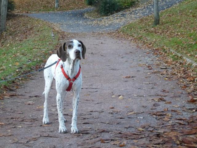 LILY femelle X pointer /braque allemand née le 01/10/2005 Lily210