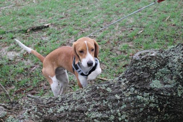 SCORFF mâle type beagle né le 15 01 2013  -  BDS 35 Scorff12