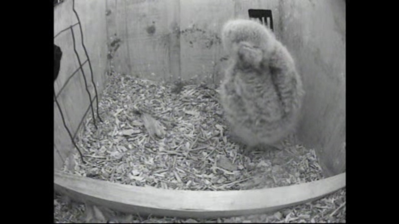 The Dutch Tawny Owl webcam Aaaabb11