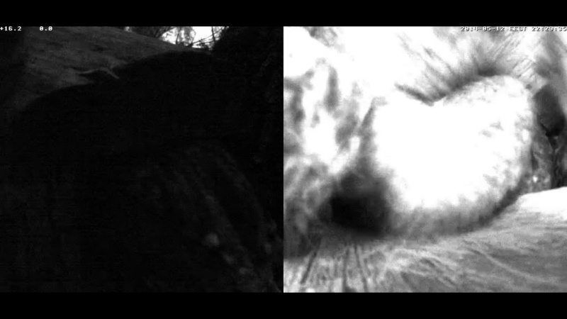 Estonian Tawny Owl Webcam 2014 Cghcdd10